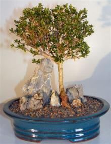 Chinese Flowering White Serissa - Root over Rock Style <br>Tree of a Thousand Stars<br><i>(serissa japonica)</i>