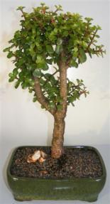 Baby Jade Bonsai Tree <br><i>(portulacaria afra)</i>