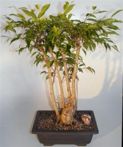Ficus Midnight Bonsai Tree<br>Multi-Trunk Style with Exposed Roots<br><i>(Ficus 'Orientalis')</i>