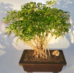 Hawaiian Umbrella Bonsai Tree <br>Banyan Style <br><i>(arboricola schefflera)</i>