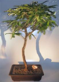 Flowering Tamarind Bonsai Tree <br>(tamarindus indica)</i>