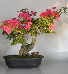 Bougainvillea - Flowering Vine<br><i>(pink pixie)</i>
