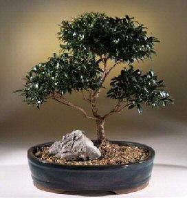 Brush Cherry Bonsai Tree Eugenia Myrtifolia