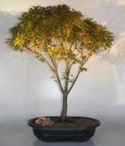 Dwarf Japanese Maple<br>(acer palmatum
