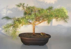 Deodar Cedar 'Snow Sprite' Bonsai Tree<br><i>(cedrus deodara)</i>
