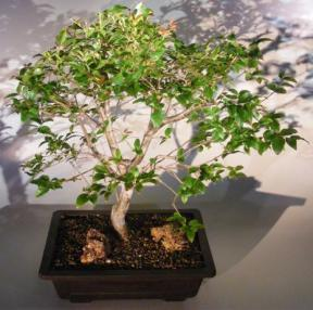 Jaboticaba Bonsai Tree<br><i>(eugenia cauliflora)</i>