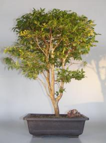 Flowering & Fruiting Jaboticaba Bonsai Tree<br><i>(eugenia cauliflora)</i>