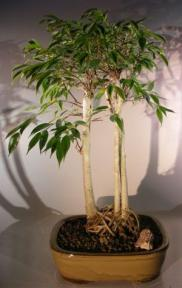 Ficus Midnight Bonsai Tree <br>Exposed Roots Style <br><i>(benjamina 'midnight')</i>
