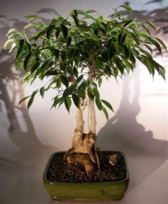 Ficus Midnight Bonsai Tree <br>Exposed Roots Style <br><i>(benjamina 'midnight')</i>