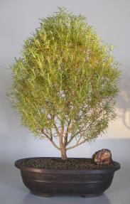Flowering Rosemary Bonsai Tree <br><i>(rosmarinus officinalis)</i>