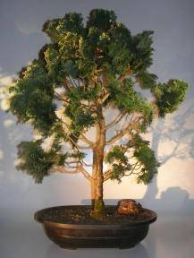Dwarf Hinoki Cypress Bonsai Tree<br><i>(chamecyparis