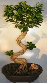 Ginseng Ficus Bonsai Tree <br>Curved & Gnarled Trunk<br><i> (ficus microcarpa)</i>