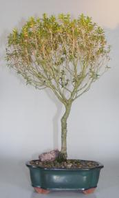 Flowering Myrtle Bonsai Tree<br><Pom Pom Style<br><i>(myrtus communis 'compacta')</i>