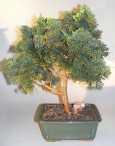 Dwarf Hinoki Cypress Bonsai Tree<br><i>(chamecyparis