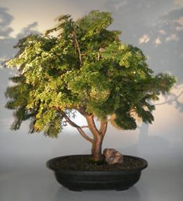 Dwarf Hinoki Cypress Bonsai Tree<br><i>(obtusa compressa 'nana')</i>