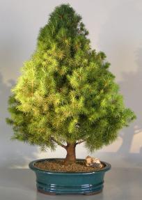 Dwarf Alberta Spruce Bonsai Tree<br><i>(picea glauca conica)</i>