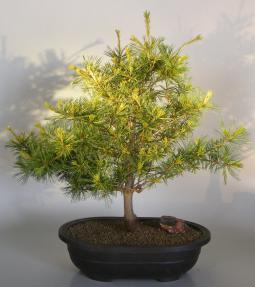 Japanese White Pine Bonsai Tree- Large<br><i>(pinus parviflora 'Goldilocks')</i>