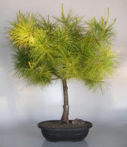 Japanese White Pine Bonsai Tree<br><i>(pinus parviflora)</i>