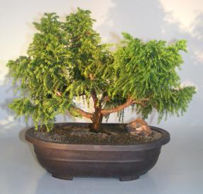 Cryptomeria Bonsai Tree<br><i>(japonica - tansu)</i>