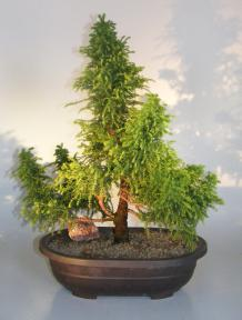 Cryptomeria Bonsai Tree<br><i>(japonica - tansu)</i>