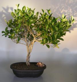 Flowering Gardenia Bonsai Tree<br>Braided Trunk<br><i>(jasminoides miami supreme)</i>