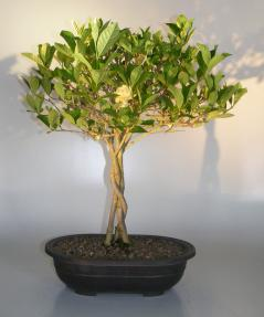 Flowering Gardenia Bonsai Tree<br>Braided Trunk<br><i>(jasminoides miami supreme)</i>