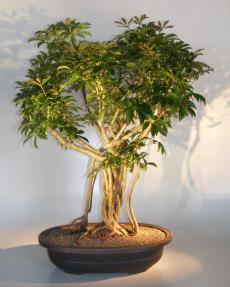 Hawaiian Umbrella Bonsai Tree<br>Banyan Style<br>(arboricola schfflera)