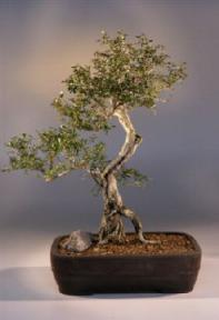 Flowering White Serissa Bonsai Treebonsai Tree Of A Thousand Stars Serissa Japonica