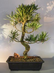 Flowering Podocarpus Bonsai Tree <br>Curved Trunk Style<br><i>(podocarpus macrophyllus)</i>
