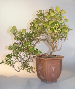 Mistletoe Fig Bonsai Tree<br>Cascade Style<br><i>(ficus diversifolia)</i>