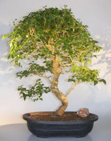 Flowering Ligustrum Bonsai Tree<br>Curved Trunk & Tiered Branching Style<br><i>(ligustrum lucidum)</i>