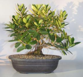 Green Island Ficus With Banyan Roots Bonsai Tree<br><i>(ficus microcarpa)</i>