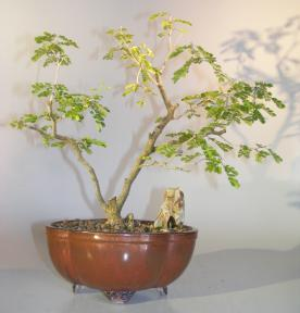 Flowering Texas Ebony Bonsai Tree<br><i>(pithecolobium flexicaule)</i>