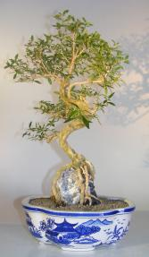 Flowering Chinese White Serissa<br>Bonsai Tree Of A Thousand Stars<br>Root Over Rock<i><br>(serissa japonica)</i>