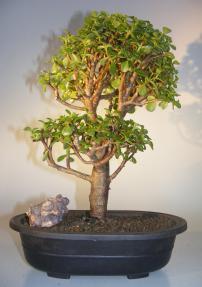 Baby Jade Bonsai Tree<br><i>(Portulacaria Afra)</i>