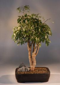 Ming Aralia Bonsai Tree<br><i>(polyscais fruitcosa)</i>