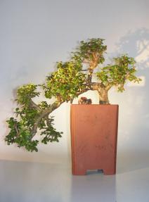 Baby Jade Bonsai Tree<br>Cascade Style<br><i>(Portulacaria Afra)</i>