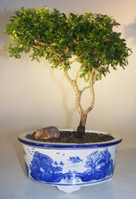 Japanese Kingsville Boxwood Bonsai Tree<br><i>(buxus microphylla compacta)</i>