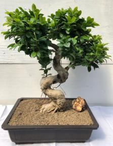 Fruiting Green Emerald Ficus Bonsai Tree <br><i>(ficus microcarpa)</i>
