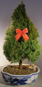 Scotch (Scots) Pine Bonsai Tree- Christmas Tree Style <br><i>(pinus sylvestris')</i>