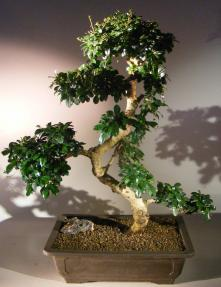 Flowering Fukien Tea Bonsai Tree <br>Curved Trunk & Tiered Branching <br><i>(ehretia microphylla)</i>