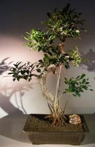 Ficus Retusa Bonsai Tree<br>Curved Trunk, Tiered Branching, & Banyan Roots<br><i>(ficus retusa)</i>