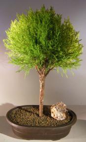 Lemon Cypress Bonsai Tree <br><i>Ball Style <br><i>(cupressus macrocarpa)</i>