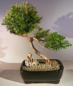 Japanese Yew Bonsai Tree<br><i>Slanting Style<br><i>(taxus baccata)</i>