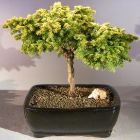 Oriental Spruce Bonsai Tree <br><i>(picea orientalis 'Tom Thumb')