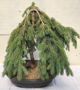 Dwarf Weeping Norway Spruce Bonsai Tree<br><i>(picea abies 'glauca pendula')</i>