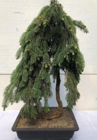 Dwarf Weeping Norway Spruce Bonsai Tree<br><i>(picea abies 'glauca pendula')</i>