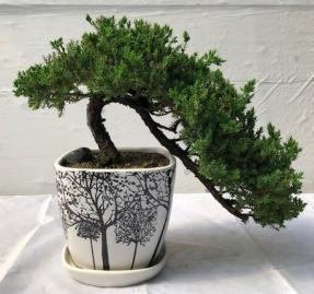 Juniper Bonsai Tree<br>Cascade Style<br><i>(juniper procumbens nana)</i>