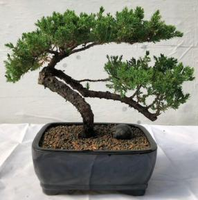 Juniper Bonsai Tree - Trained<br><i>(juniper procumbens nana)</i>