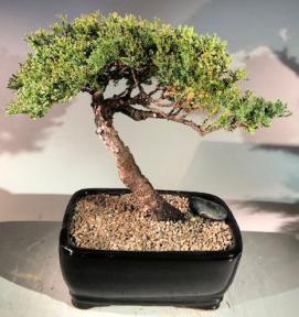 Juniper Bonsai Tree - Trained<br><i>(juniper procumbens nana)</i>